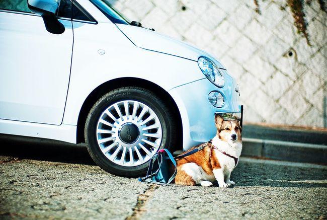 Let's Go!!! Italian Car Fiat 500 Dog Corgi Welsh Corgi Pochiko Open Edit Leica M8 Noctilux