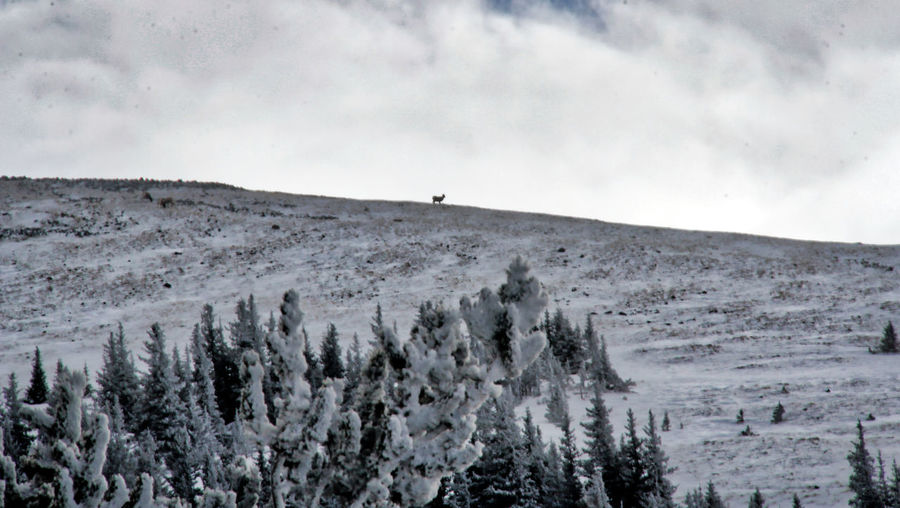 Ram at top of mountain EyEmNewHere RAM Shades Of Winter Winter Animal Themes Beauty In Nature Day Landscape Mountain Nature No People Outdoors Scenics Sky Tranquility