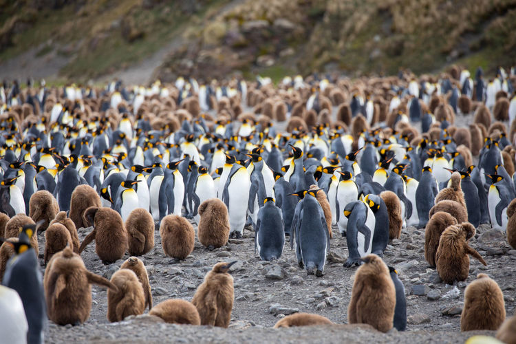 Animal Animal Themes Animal Wildlife Animals In The Wild Beach Bird Colony Day Flock Of Birds Group Of Animals Land Large Group Of Animals Nature No People Penguin Sea Togetherness Vertebrate Water Young Animal