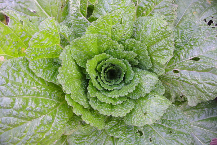 Cabbage Cabbage Flower Food Freshness Green Color Growth Kimchi To Be Leaf Life Nature Plant Vegetable EyeEm Nature Lover EyeEmNewHere