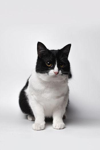 Portrait of cat sitting on floor against white background