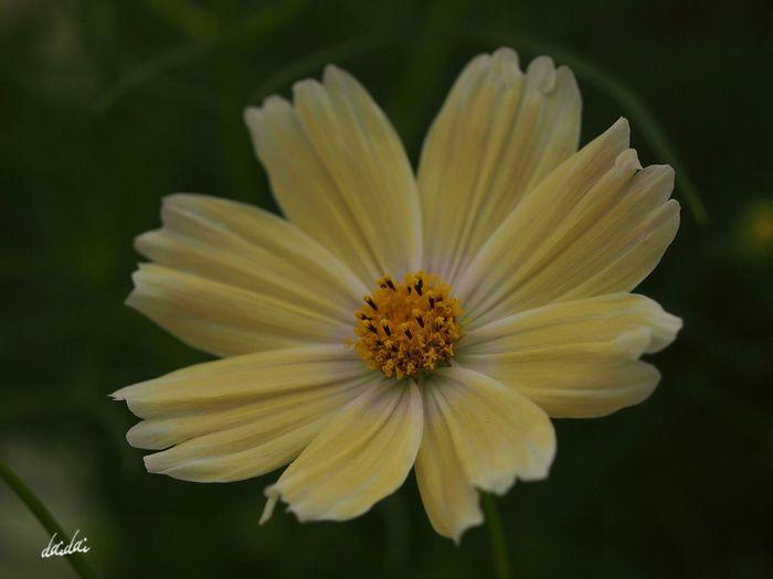 そして、少しだけ安心してる。淋しいと思えた自分に。 E-PL3 Flower Cosmos コスモス シーシェル Noedit
