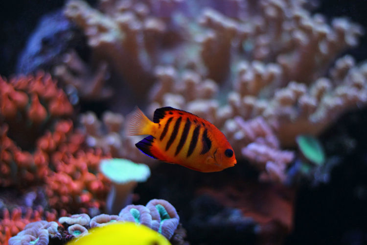 Aquatic Aquarium Fish Fish Photography Aquaculture Fishes Reef Aquatic Life Aquarium Photography Aquarium Life Fish Tank Angelfish Flame Flame Angelfish Reeftank Reef Tank Coral Reef Aquarium Coral Fish Coral Reef Fish Aquarium Fish Sea Life Underwater Sea Water Swimming