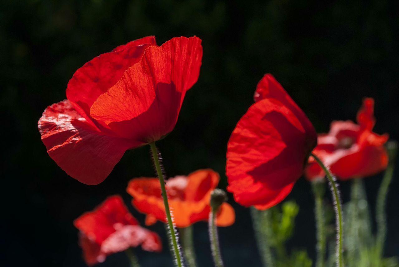 Red Poppies Blooming In Garden