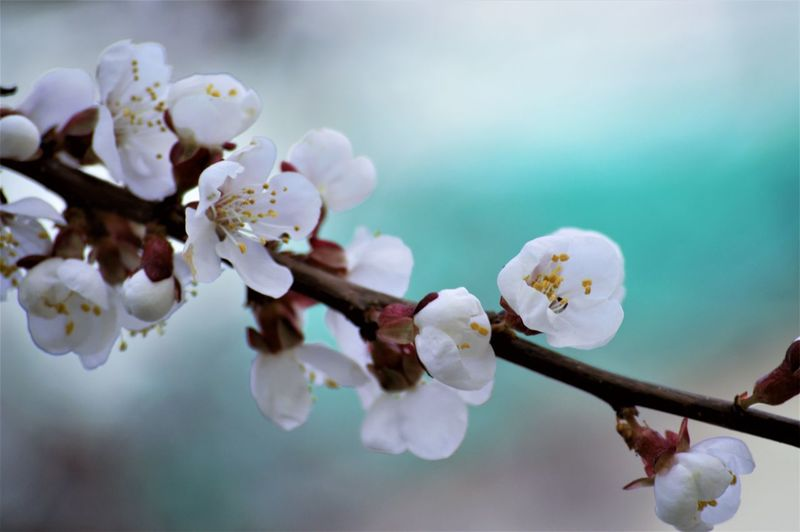 Flower Flowering Plant Fragility Vulnerability  Plant Freshness Blossom Beauty In Nature White Color Close-up Petal Springtime Growth Inflorescence Branch Tree Cherry Blossom Focus On Foreground Flower Head Nature Pollen No People Plum Blossom Outdoors Cherry Tree