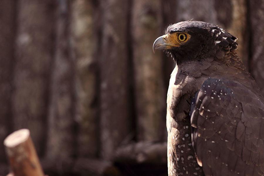 Java Eagle Bird Animal Wildlife Bird Of Prey Bird Photography Jawa Eagle Close-up EyeEm Nature Lover EyeEm Best Shots - Nature Eyeemphotography Animal Love Love For Sale Elang