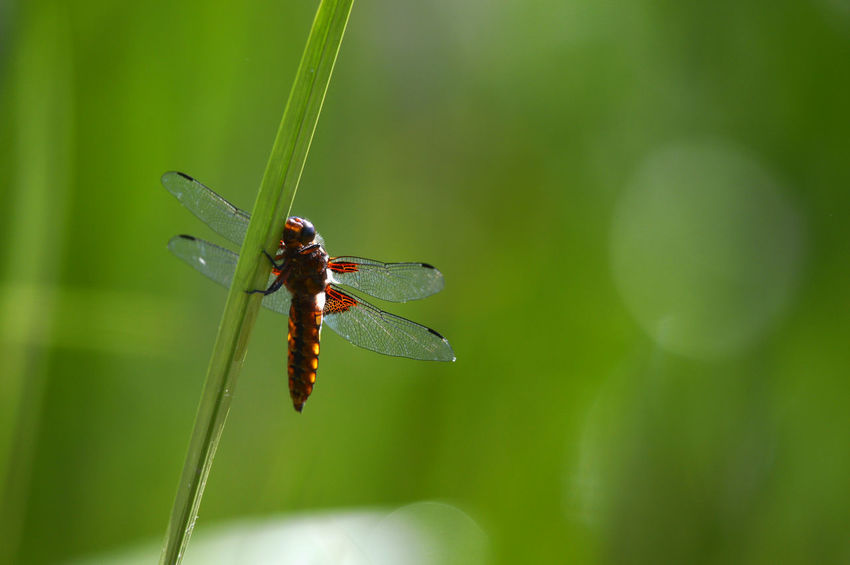 Insect Animals In The Wild Nature Animal Wildlife One Animal No People Green Color Focus On Foreground Day Animal Themes Outdoors Close-up Fragility Dragonfly Dragonflies Damselfly Reed Grass Perching Insects  Animals Pond Life At The Pond  Beauty In Nature Single Object