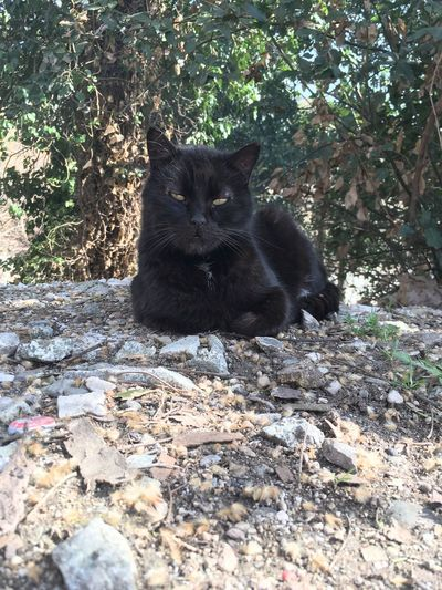 small panther:) Domestic Cat Looking At Camera One Animal Portrait Mammal Cat
