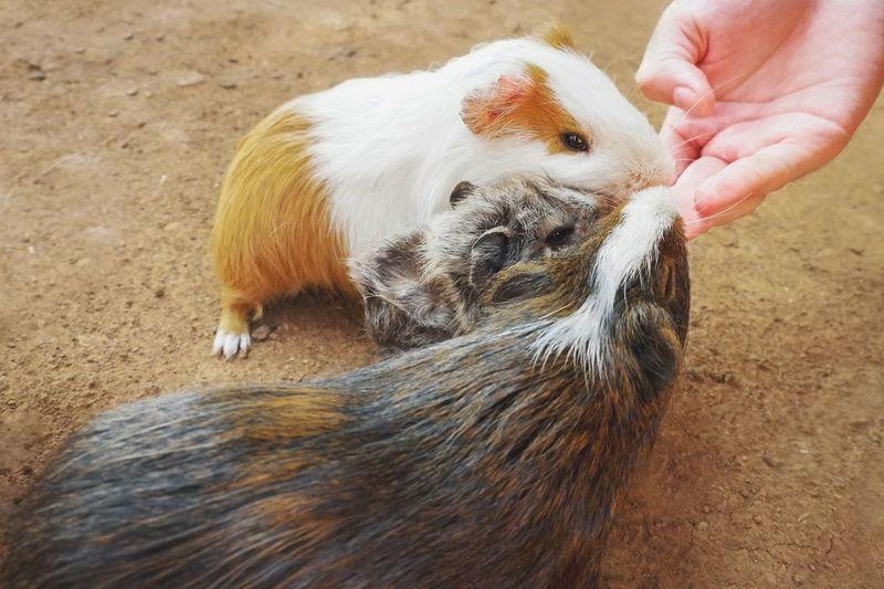 Feeding guinea