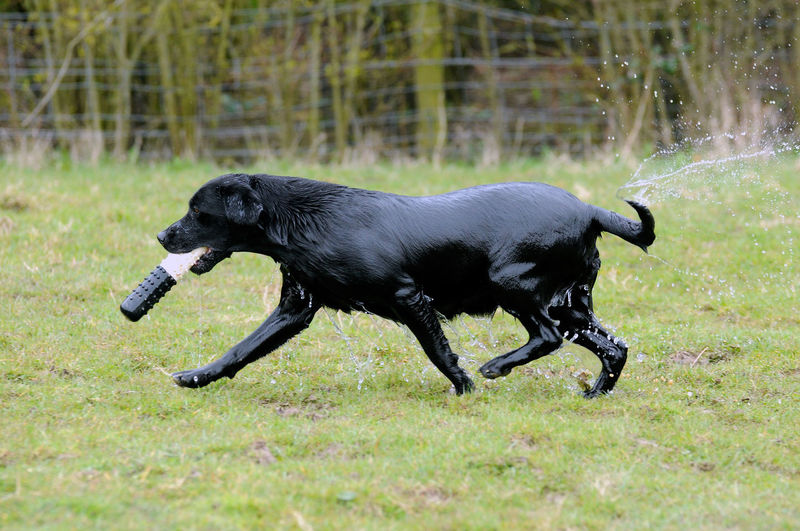 Wet Black Labrador Carrying Toy In Mouth On Field