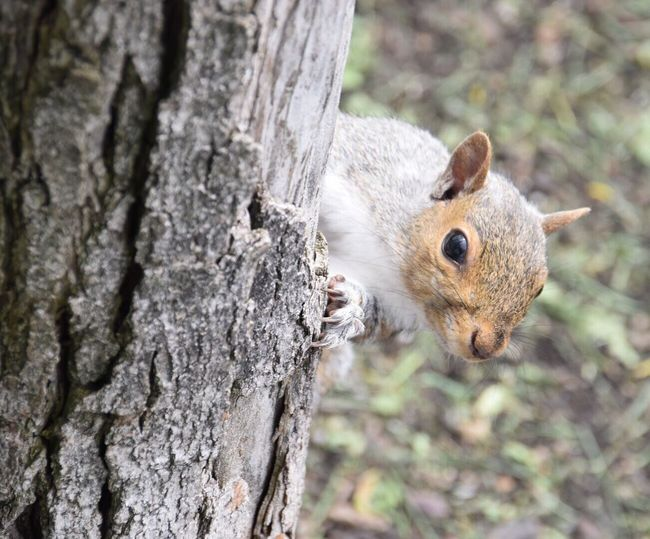 Peekaboo Squirrel Squirrel Closeup Animal Photography