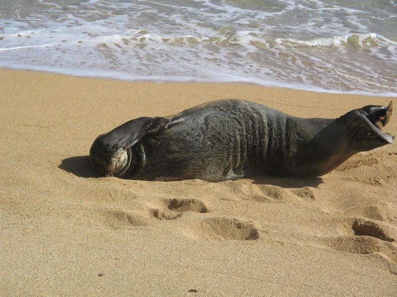 Animal Themes Animal Wildlife Animals In The Wild Beach Day Face Palm Hawaii Kauai Kauai Hawaii Nature No People One Animal Outdoors Relaxation Sand Sea Seal Seal - Animal Shore USA Water