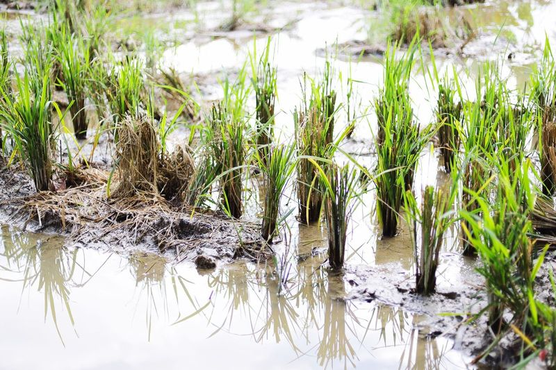 Harvested paddy Plant Water Growth Reflection No People Lake Tranquility Outdoors Green Color Scenics - Nature Tree Wetland Grass Nature Beauty In Nature Waterfront Day Tranquil Scene Swamp