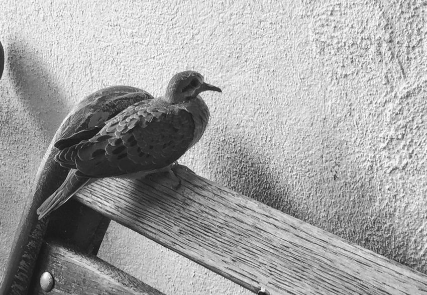 One Bird Not Park Bench Thursday Mourning Dove EyeEm Nature Lover Fauna Close-up Blackandwhite Bnw_collection The Week On EyeEm