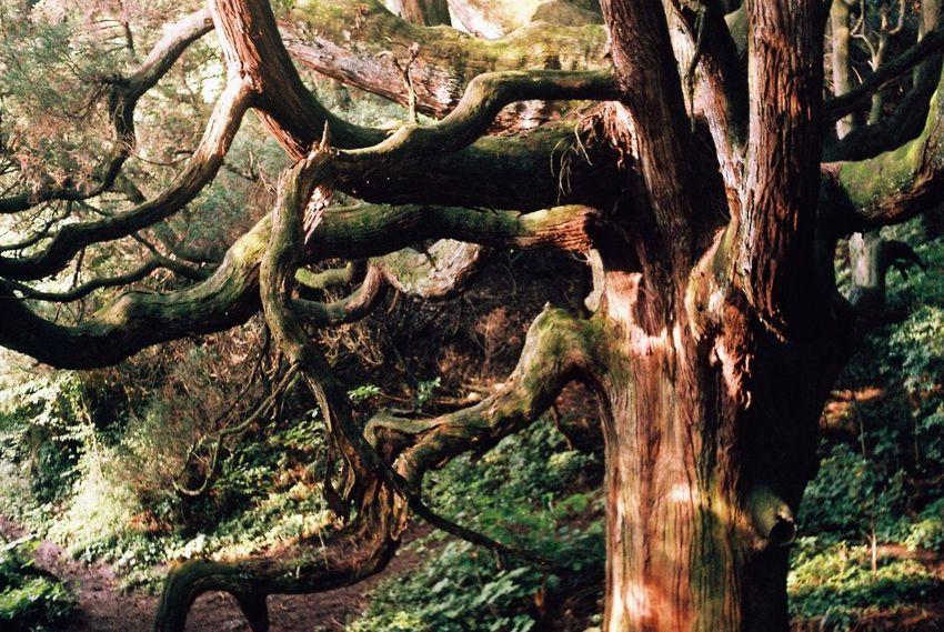木の音 Tree Film Film Photography Konica Konicaiib EyeEm Best Shots EyeEm Nature Lover 杉 木