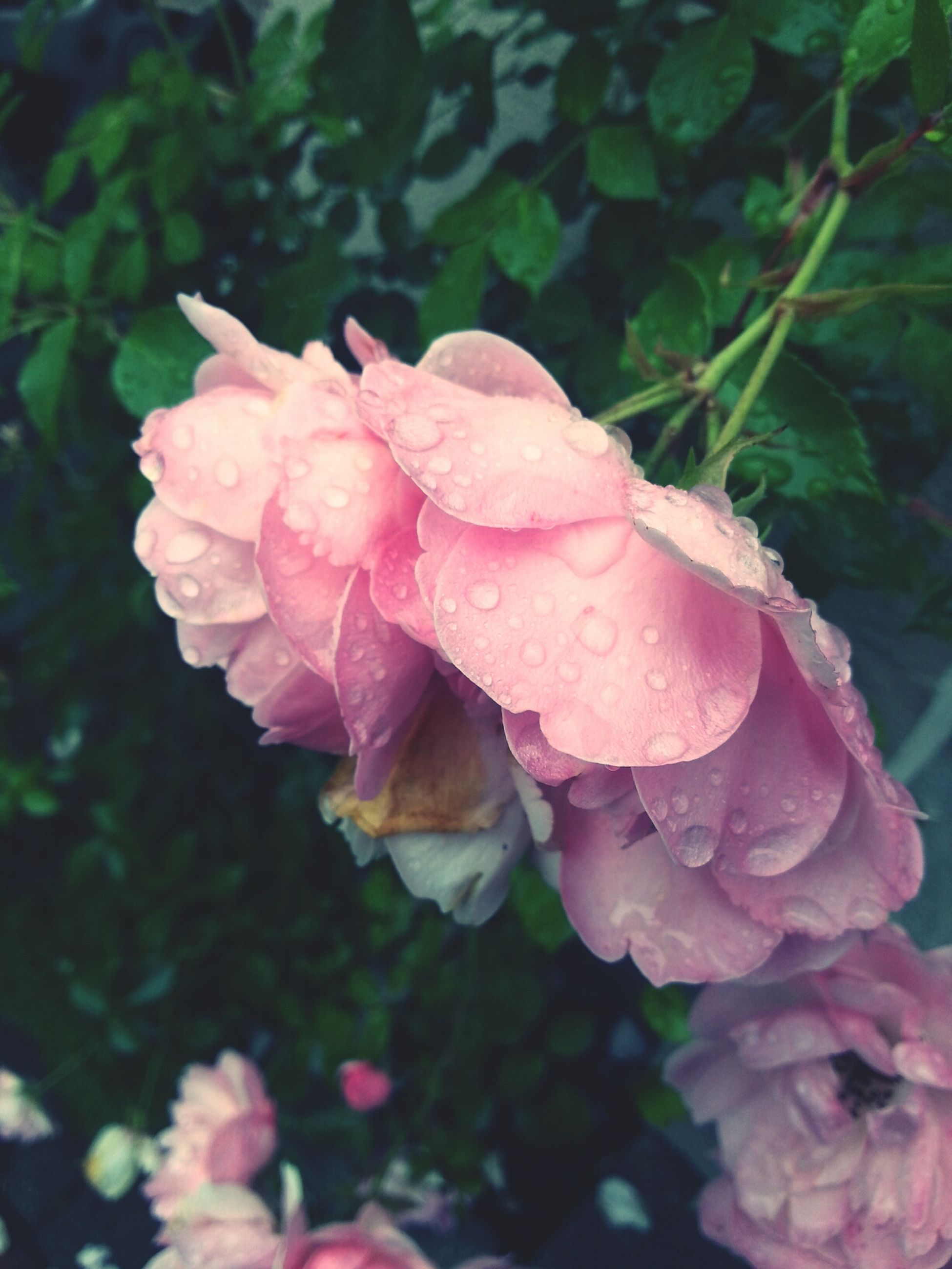 flower, freshness, petal, fragility, growth, pink color, flower head, beauty in nature, close-up, nature, blooming, focus on foreground, drop, plant, water, wet, single flower, in bloom, pink, outdoors