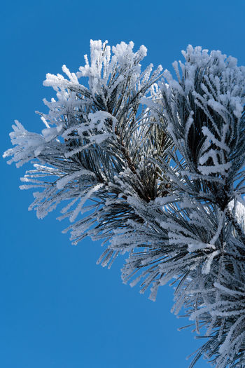 Close-up of snow covered pine tree against blue sky