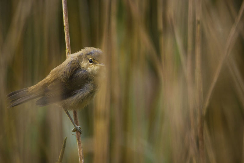 Reed Warbler Bird Birds Bird Photography Reedbeds Wales Wildlife Nature Water Close-up Animal Themes Camouflage
