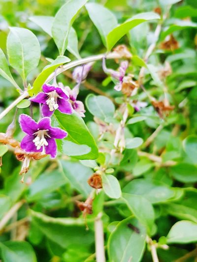 Flower Purple Beauty In Nature Green Color goja flower Plant Nature Beauty In Nature Nature Photography