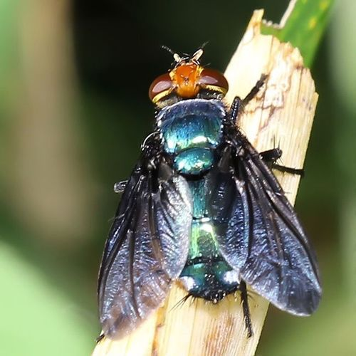 Blue fly. Fly Insectstagram Tgif_macro Tgif_insects alalamiya_macro kings_insects top_macro macroworld_tr