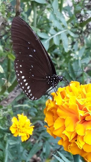 Animal Themes Animals In The Wild Beauty In Nature Butterfly Butterfly - Insect Close-up Day Flower Flower Head Fragility Freshness Insect Nature No People One Animal Outdoors Perching Plant Pollination Yellow