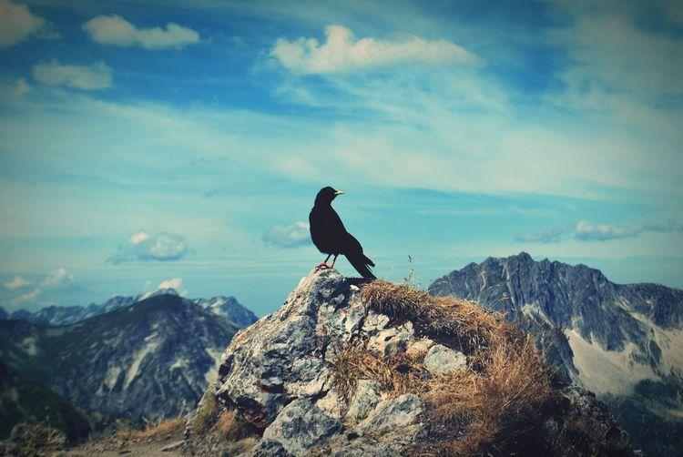 Krahe Schochenspitze Gipfel Berge Tirol  Vogel Tiere