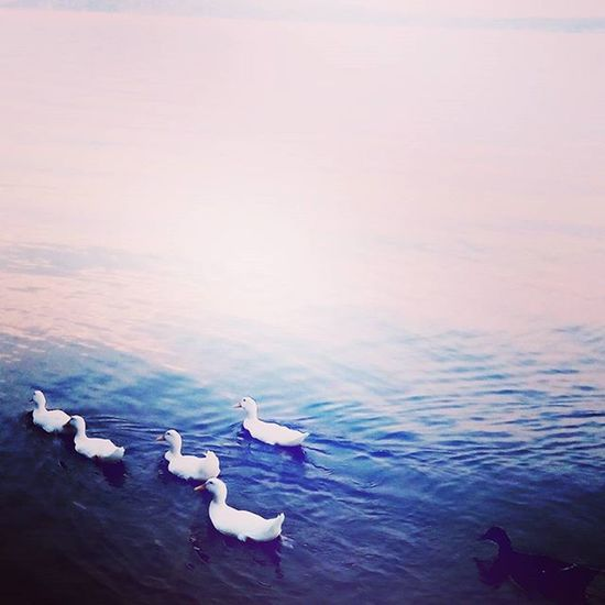 Τα παπάκια στη σειρά κτλ part 2. Ducks Water Blue Crystalwater Amazingview Feedingducks Havingfunwithangels MyLoves Nelly Antonis Mika Marietta Ioanna 🎈👻
