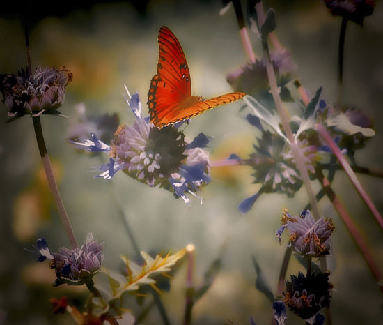 Butterfly - Insect Flower Hovering Insect Salvia Flowers Spread Wings