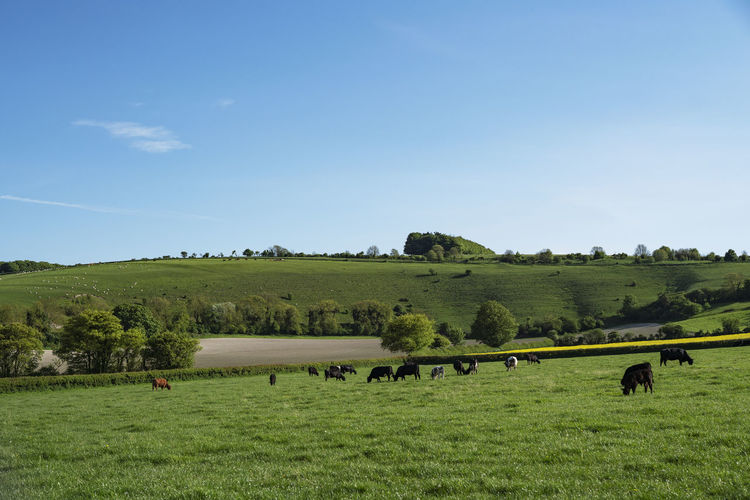 A view of cows grazing in a field near Tollard Royal in the heart of the English countryside. Mammal Livestock Domestic Animals Animal Animal Themes Domestic Field Land Grass Plant Landscape Environment Sky Pets Group Of Animals Grazing Vertebrate Agriculture Cattle Nature Herbivorous Outdoors Herd British English Countryside
