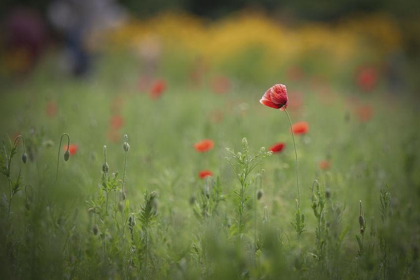 양귀비꽃 Korea Namwon EyeEm Nature Lover EyeEm Selects Flower Flower Flower Head Poppy Red Summer Field Uncultivated Close-up Grass Plant Wildflower Blossom Botany Focus