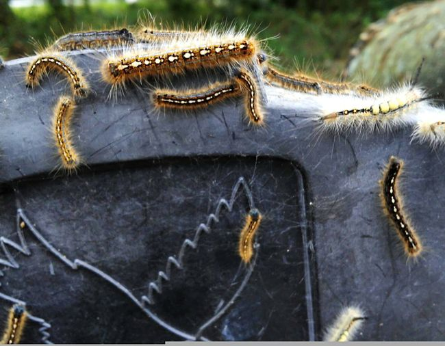 Hundreds of catepillars all over my mailbox in Bushnell FL. Caterpillars  Caterpillar Close-up Caterpillar Life Caterpillars Clinging Caterpillars On Mailbox Nature