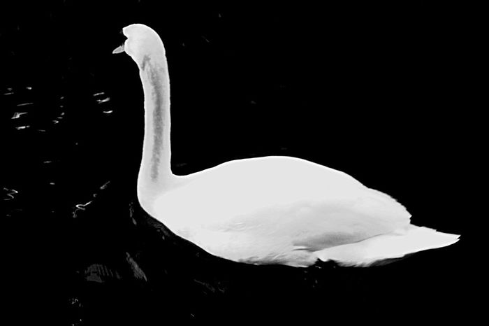 Black Swan Swan Redlightdistrict Amsterdam Taking Photos Black & White