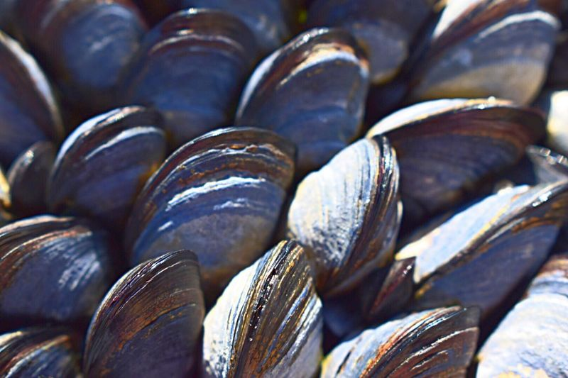 Outdoor Photography Sea Life Backgrounds Large Group Of Objects No People Full Frame Food And Drink Abundance Freshness Summer Coastal Life Mussels Musselshell Blue Close-up The Great Outdoors - 2017 EyeEm Awards EyeEm Gallery Cornwall Attached To Rocks Stockphoto Getty Images Fishing Mussels! Moules lots of mussels