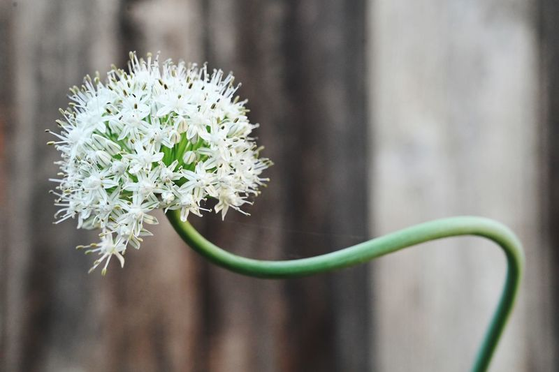 The onion flowers EyeEm Selects Flower Flowering Plant Plant Freshness Beauty In Nature Fragility Vulnerability  Focus On Foreground Close-up Nature No People Flower Head Growth Day White Color Inflorescence Outdoors Petal Plant Stem Selective Focus