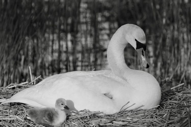 Newly hatched Newly Hatched Bird Photography Birds Of EyeEm  Animal Animal Family Animal Neck Animal Wildlife Animals In The Wild Babyswans Beak Bird Bird Nest Blackandwhite Photography Close-up Cygnet Day Duck Focus On Foreground Group Of Animals Lake Nature Swan Vertebrate Water Bird Young Animal Young Bird