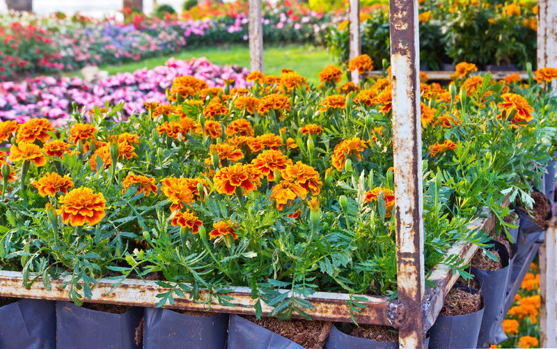 Close-up of flowers in pot for sale