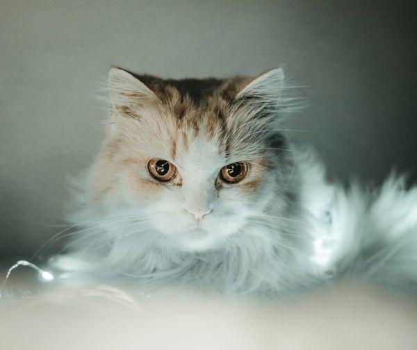 Fierce Pets Cat