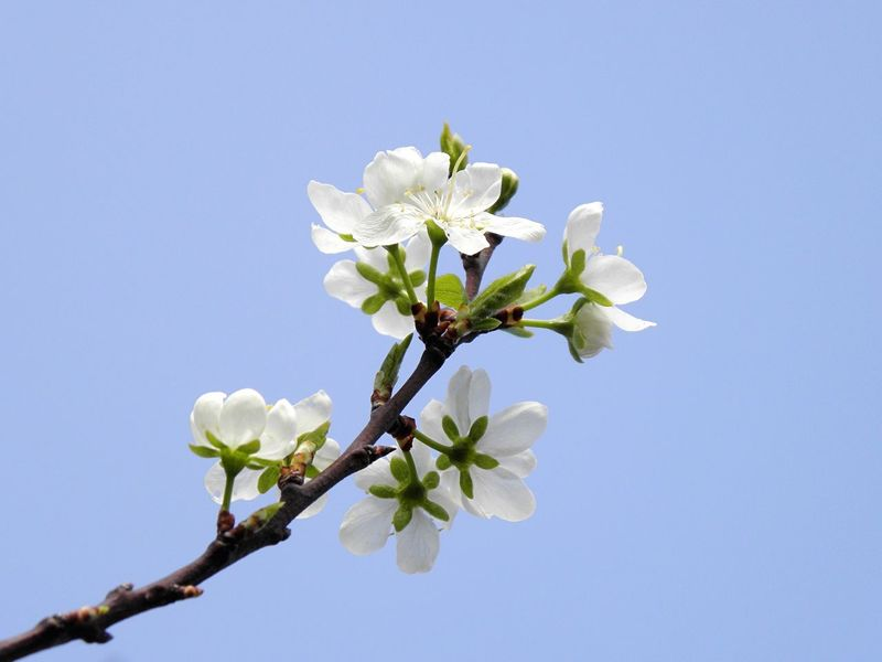 Flower Nature Growth Fragility White Color Tree Beauty In Nature Apple Blossom Low Angle View Simplicity Simple Photography Sky Background Blue Sky White Flower Nature Apple Tree Close-up Twig Springtime Blossom Fruit Tree Branch Petal Sky Freshness EyeEmNewHere