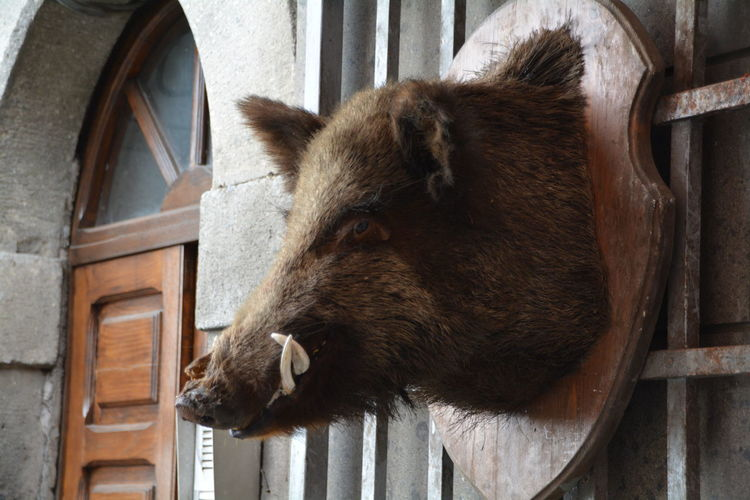 Close-up of wild boar taxidermy on window