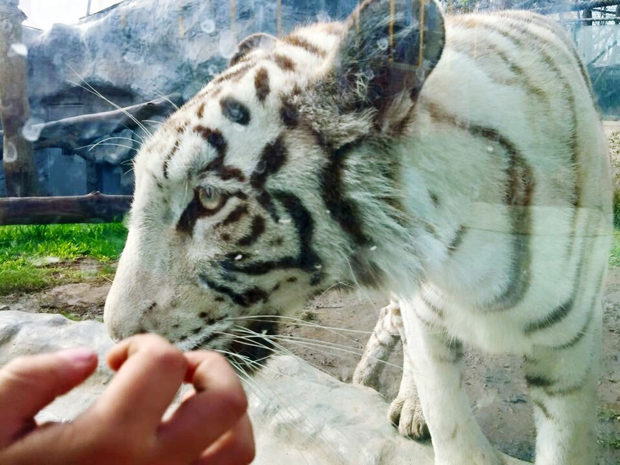 animal themes, one animal, human hand, mammal, one person, human body part, tiger, real people, close-up, day, white tiger, nature, outdoors