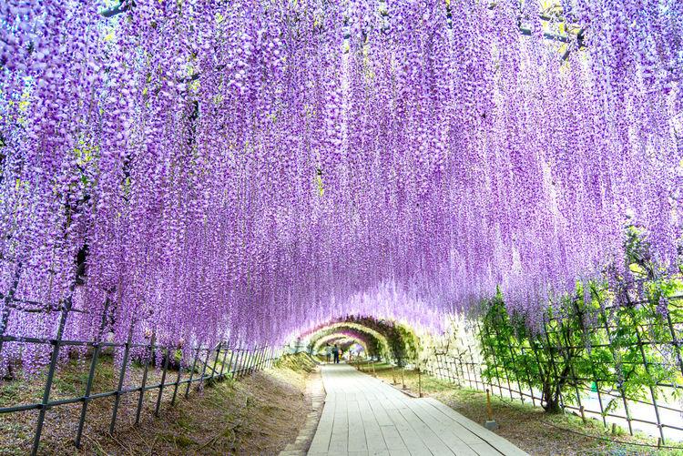 Scenic view of purple flowering plants on footpath