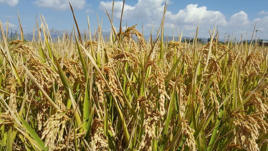Ekin çeltik Pirinç Yeşillik Tarla