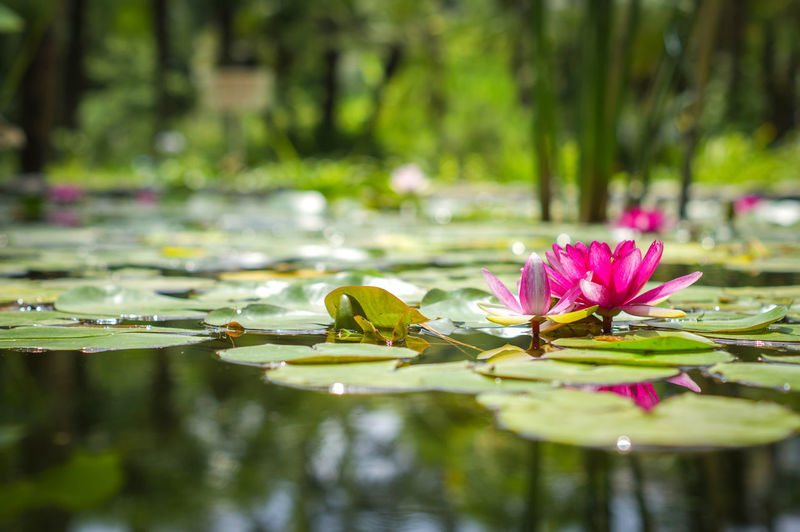 Beauty In Nature Botanical Garden Lotus Pink Flower Pond Sunshiny Water Plants Water Surface