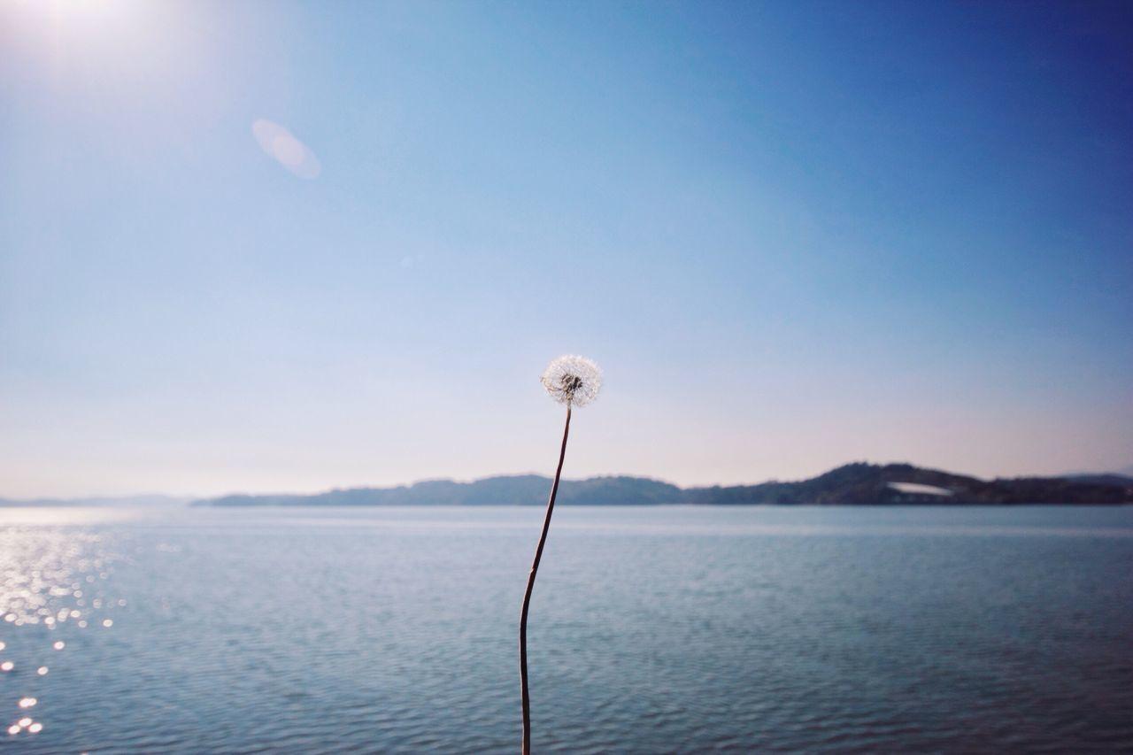 Close-up of dandelion against calm blue sea