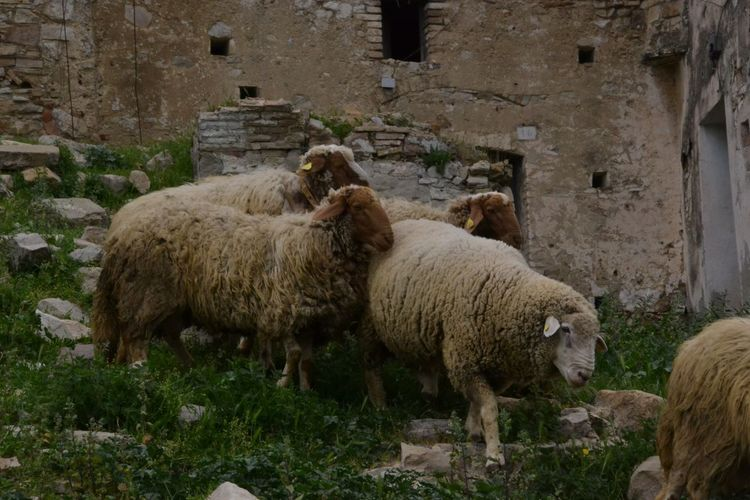 Livestock Mammal Animal Themes Domestic Animals Sheep Animal Pets Domestic Vertebrate Field Plant No People Day Nature Flock Of Sheep Land Grass Agriculture Herbivorous Group Of Animals