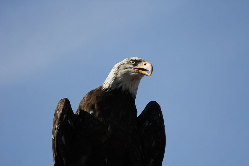 Bird Bird Eagle Bird Photography Birds Eagle Eagle - Bird Eagle Portrait Eaglephotography Eagles Eagleview