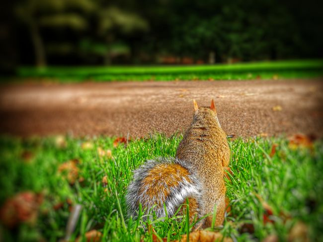 Squirrel Grass Green Color Nature Growth Outdoors No People Day Close-up Animal Themes Huawei Photography Field EyeEm Best Shots EyeEm Selects WoodLand Beauty In Nature P10 Plus Photography Animals In The Wild Depth Of Field One Animal Animal Wildlife Autumn Nature