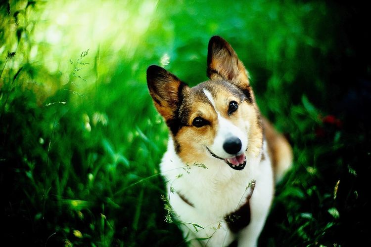 Dog Corgi Welsh Corgi Pochiko Portrait Dog Portrait Looking At Camera Field Grass Outdoors Focus On Foreground Bokeh Dof Depth Of Field Leicacamera LeicaM7 Noctilux 50mm F1