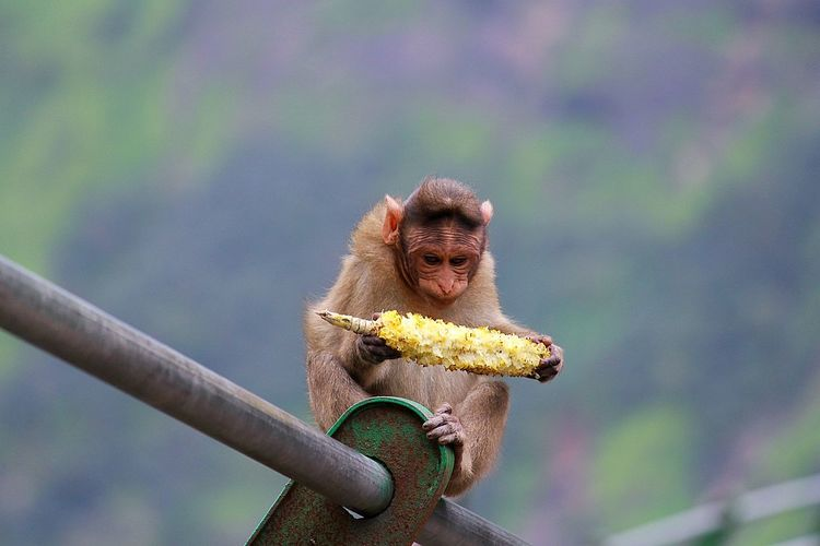 Baby Monkey Eating Corn