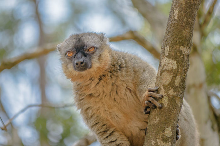 Green Color Nature Animal Wildlife Animals In The Wild Branch Close-up Focus On Foreground Lemur Lemur Catta Low Angel View Low Angle View Lémuriens Madagascar  Outdoors Portrait Ziseetheworld Ziwang